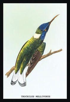 Hummingbird: Trochilus Mellivorous 12x18 Giclee on canvas