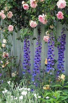 róże na płocie pudrowy róż ostróżka ogrodowa niebieska