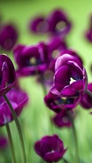 purple and spring green Purple Tulips, Purple Lilac, Orange Flowers, Shades Of Violet, Sweet Violets, Deco Floral, All Things Purple, Spring Green, Pretty Flowers