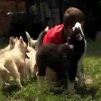 Husky Puppy Horde