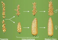 Image result for ancient corn