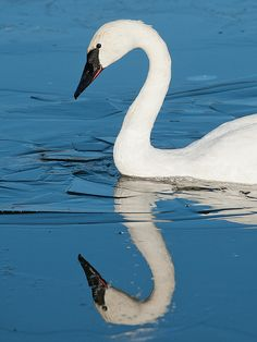 The largest of North American waterfowl, the Trumpeter Swan is resident throughout much of its range, but migratory in other parts. Its was reduced to near extinction by the early century, but it is relatively common today. Beautiful Swan, Beautiful Birds, Animals Beautiful, Trumpeter Swan, Swan Song, Swan Lake, Sea Birds, Zebras, Bird Feathers
