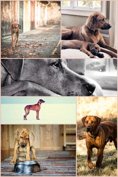 Rhodesian ridgeback, most beautiful dogs in the world