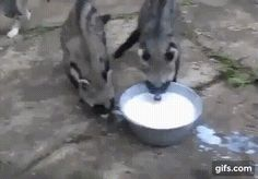 African Civets Suck At Drinking