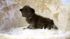 Karly-3W #mainecoon #katzenbaby #kitten