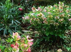 Les hellébores ou rose de noël fleurissent sans discontinuer de mi-décembre à avril.  Les fleurs existent en de nombreux coloris et se détachent sur un feuillage remarquable.