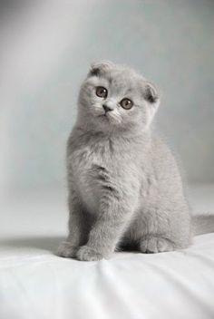 Pinar Kanat - Google+ #fluffycatsbreedsscottishfold