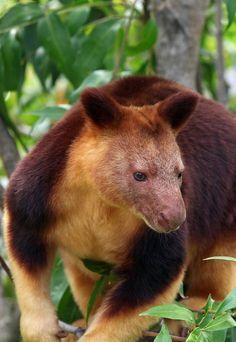 goodfellows tree kangaroo native to papua new guinea by david lochlin