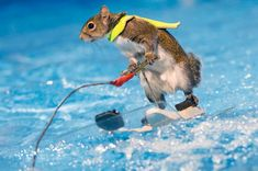 Twiggy the squirrel wows crowds as incredible rodent casually waterskies around pool