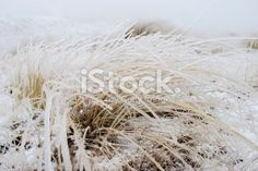 Ice on Tussock Grass, New Zealand Royalty Free Stock Photo Abstract Photos, Native Plants, Image Now, Simply Beautiful, New Zealand, Grass, Flora, National Parks, Royalty Free Stock Photos