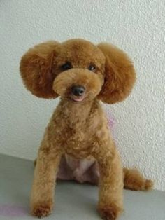 GreeneGardens Poodles - Grooming Styles for Hybrids