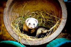 Are you considering adopting a ferret? Our Ferret Care Guide for Beginners will help you make the right choices when it comes to caring for your pet ferret.