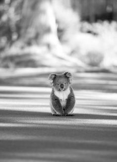 black and white picture of a beautiful koala