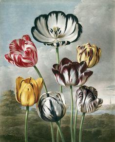 flora Thornton de Británica Robert la imprime templo La Por John Biblioteca vintage Tulipanes El flores 8IxCqnFCU