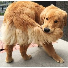 """I gots my tail! @livingthatgoldenlife @pupbox  #goldenretriever #dogsofinstagram #dog #puppy #pupsofinstagram #adorable #pupbox  Get $15 off your…"""