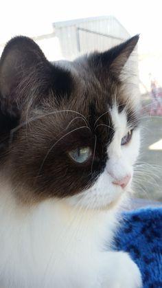 Molly Cat | Pawshake Berserker, rockhampton