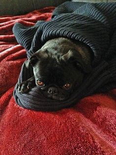 "stinkywrinkles: ""Today is a sweater burrito kind of day! Pug Pictures, Pug Pics, Happy Animals, Cute Animals, Cutest Pug Ever, Grumble Of Pugs, Adult Pug, Pet Pug, Puppy Breath"
