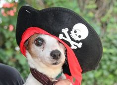 TO BE DESTROYED 07/09/16  A volunteer writes: Ahoy there matey!!! Jackie is just about the cutest pirate I have ever seen!!! She posed for her pictures like a champ. Jackie also demonstrated her ability to sit for me and wait for a treat. I had to triple-check her kennel card for her age, as she ran around the yard like a puppy. Jackie is a senior who still has a lot of life left in her. If you're interested in giving Jackie her forever home, come to the Care Center and meet her.