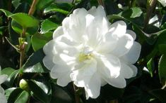 the Southern Living Plant Collection comes the October Magic® Bride Camellia noted for its dense, conical form, very dark green foliage and the abundance of pure white double flowers produced in fall into winter. Evergreen Shrubs, Flowering Shrubs, Japanese Garden Plants, Small Space Gardening, Garden Spaces, Buy Plants Online, Deer Resistant Plants, Plant Nursery, Plant Sale