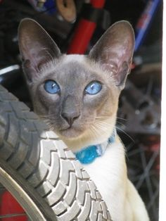 My brothers handsome (and he knows it) seal point Siamese, Henry Puddle Cat :-) cute cats