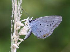 Short-tailed Blue (Cupido argiades) Butterflies, Blue, Animales, Butterfly, Bowties, Papillons, Caterpillar