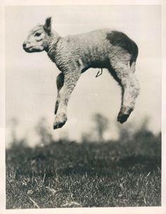 goats, cats, anim, god, easter, lambs, sheep, cords, jump