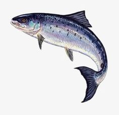 Towngate Gallery specialises in fine art pictures of Richard Bramble's famous fish limited edition prints. Trout Fishing, Fishing Lures, Fly Fishing, Salmon Drawing, Salmon Tattoo, Fish Jumps, Fish Artwork, King Salmon, Atlantic Salmon
