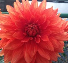 Dahlia on the Bridge of Flowers in Shelburne Falls, MA. The Quilts of Ann Brauer: toward a better image of the dahlias