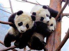 Three cubs climbing.