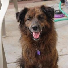 Check out Shrek's profile on AllPaws.com and help him get adopted! Shrek is an adorable Dog that needs a new home. https://www.allpaws.com/adopt-a-dog/newfoundland-dog-mix-shepherd/5376910?social_ref=pinterest