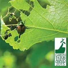 ™ for Ornamental and Vegetable Pests Winner of 2015 Green Thumb Awa… beetleJUS! ™ for ornamental and plant pests Winner … Plant Pests, Garden Pests, Organic Gardening, Gardening Tips, Integrated Pest Management, Japanese Beetles, Spring Plants, Ornamental Plants, Pest Control