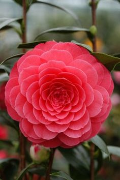 Camelia japonica 'Elizabeth Weaver' (U. Exotic Flowers, Amazing Flowers, Beautiful Roses, Beautiful Gardens, Pink Flowers, Beautiful Flowers, Camelia Rosa, Orquideas Cymbidium, Beautiful Flower Arrangements