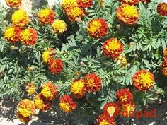 Aksamietnice - opdudzuju hmyz a krtkov, sadia saokolo zeleninovych záhonov Planting Seeds, Helpful Hints, Garden, Plants, Useful Tips, Garten, Lawn And Garden, Seed Starting, Gardens