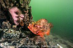 Momenteel kom je de #snotolf nog geregeld tegen in #Zeeland! Maar voor hoe lang nog? Het #kuit van deze #vis is geld waard en wordt verkocht als #imitatiekaviaar. Foto en blog door #YoerivanEs. #onderwaterfotografie #onderwaterfotograaf #kaviaar #Zeeland #scuba #scubadiving #duiken