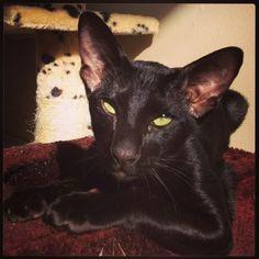 Black Male Oriental Shorthair Edinburgh Midlothian Pets4homes
