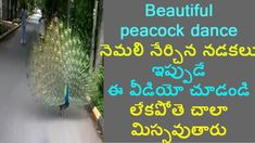 Amazing Beauty of peacock dance on road | ఇప్పుడే ఈ వీడియో చూడండి లేకపొత...