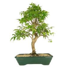 Resultado de imagem para bonsai jabuticaba