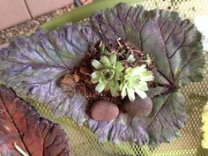 Cement leaf casting with hens & chicks
