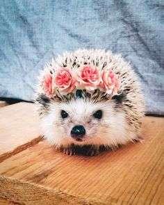 Dec 2019 - About little hedgehog and his life✨. See more ideas about Cute hedgehog, Hedgehog and Cute animals. Happy Hedgehog, Hedgehog Pet, Cute Hedgehog, The Animals, Baby Animals Pictures, Cute Animal Photos, Animal Pics, Baby Animals Super Cute, Cute Little Animals