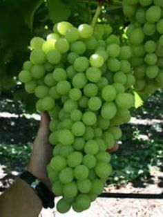 Not many amateur  gardeners are capable to grow grapes like the ones on this picture. Growing grapes is not very difficult, but growing real quality grapes is.