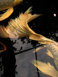 Coy Koi in the Bronx Zoo pond  by mollystevens, via Flickr