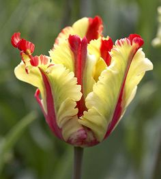 Parrot hybrid fringed tulip, yellow and red.  I've grown this Flame Parrot tulip, and it is gorgeous.  When opened, the flower is wide.  You will Love it.  Parrot tulips are My Favorite tulip!