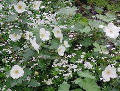 Myskmadra som underplantering till _Rubus_ 'Benedeen', prydnadshallon. Foto: Sylvia Svensson