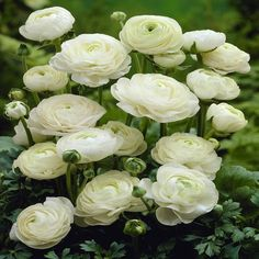Ranunculus asiaticus White - 20 flower bulbs buy online order now