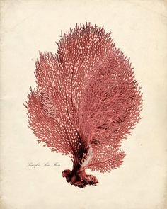 CORAL (i know.) - Sea Coral Print from Vintage by the Shore. Botanical Drawings, Botanical Prints, Illustrations, Illustration Art, Fan Coral, Historia Natural, Sea Creatures, Natural History, Under The Sea