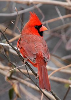 Cardinal from hobby lobby :D for the winter branches...not all of them.