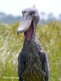Shoebill Stork.  It sometimes emits a horrid screech to scare off the souls the devil is not yet ready to claim.