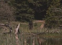 Intriguing marsh picture of a potential Bigfoot