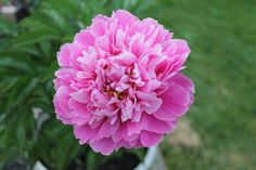 """Peony """"Buddha Lotus Seat"""" (although this year the light center is pink :o("""