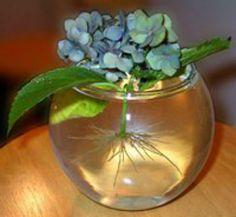 Укоренение гортензии черенком. Гортензия довольно легко укореняется. Можно черенок просто поставить в воду и через некоторое время появятся корешки.  Я посадила черенок длинной в 5-6 почек в горшок для цветов. Удалила листья двух нижних почек. Крупные листья обрезала наполовину. Земля в горшке должна быть влажной, но не мокрой. Сверху свой черенок я укрыла пластиковой бутылкой.